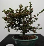 Bonsai Shohin Cotoneaster, no. 7773