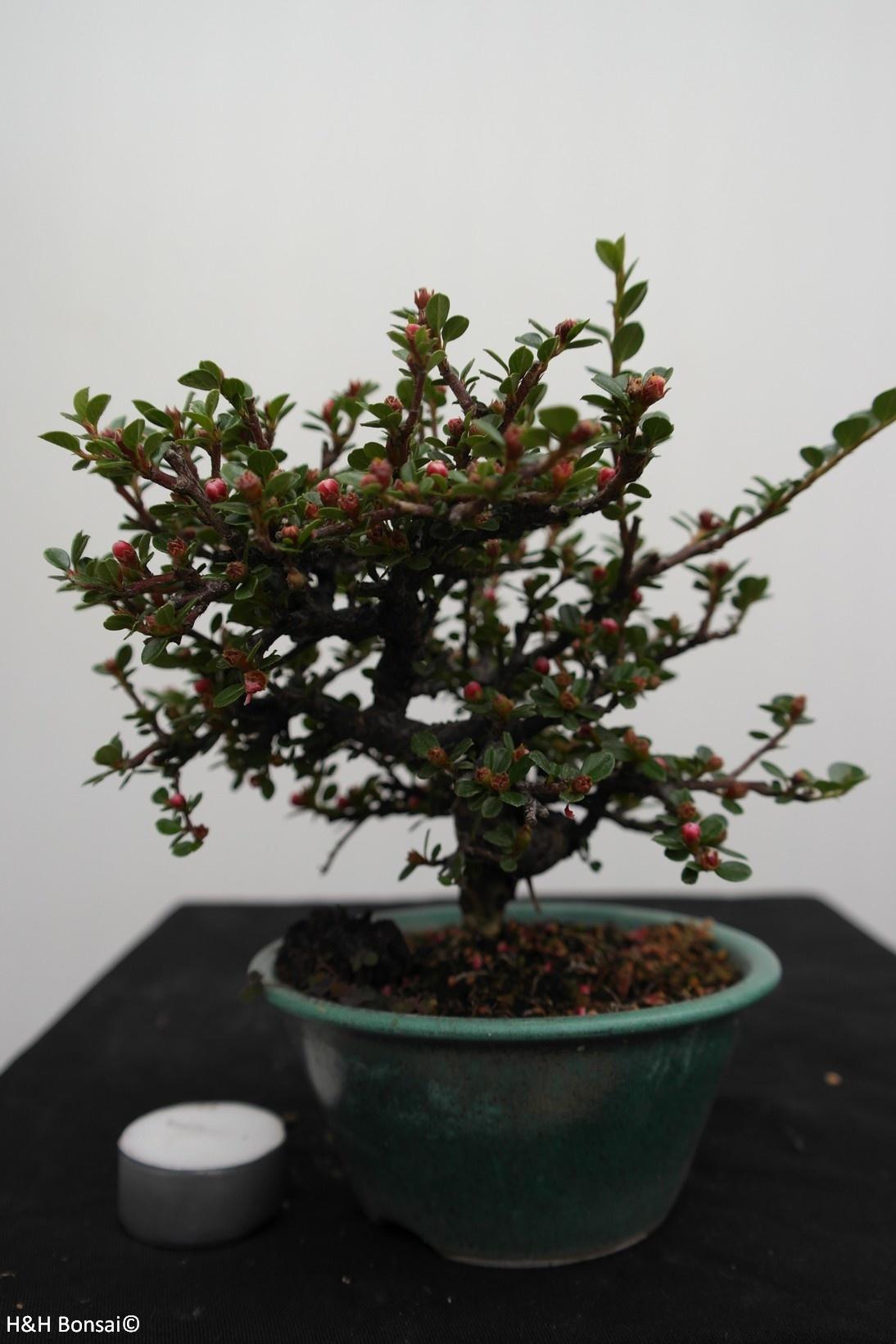 Bonsai Shohin Zwergmispel, Dwergmispel, nr. 7773