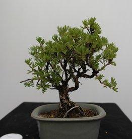 Bonsai Shohin Fingerstrauch, Potentilla fruticosa, nr. 7775