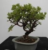Bonsai Shohin Potentilla fruticosa, no. 7775