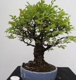 Bonsai Zelkova nire, no. 7791