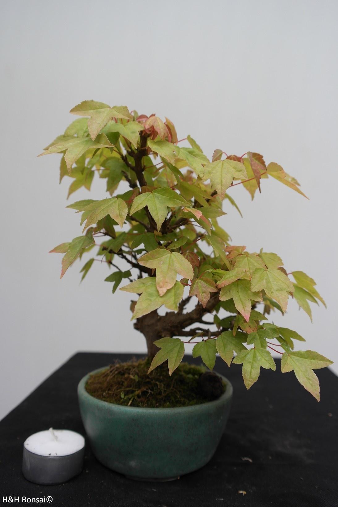 Bonsai Shohin Dreispitzahorn, Acer buergerianum, nr. 7516