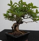 Bonsai Shohin Forsytie, Forsythia, nr. 7517