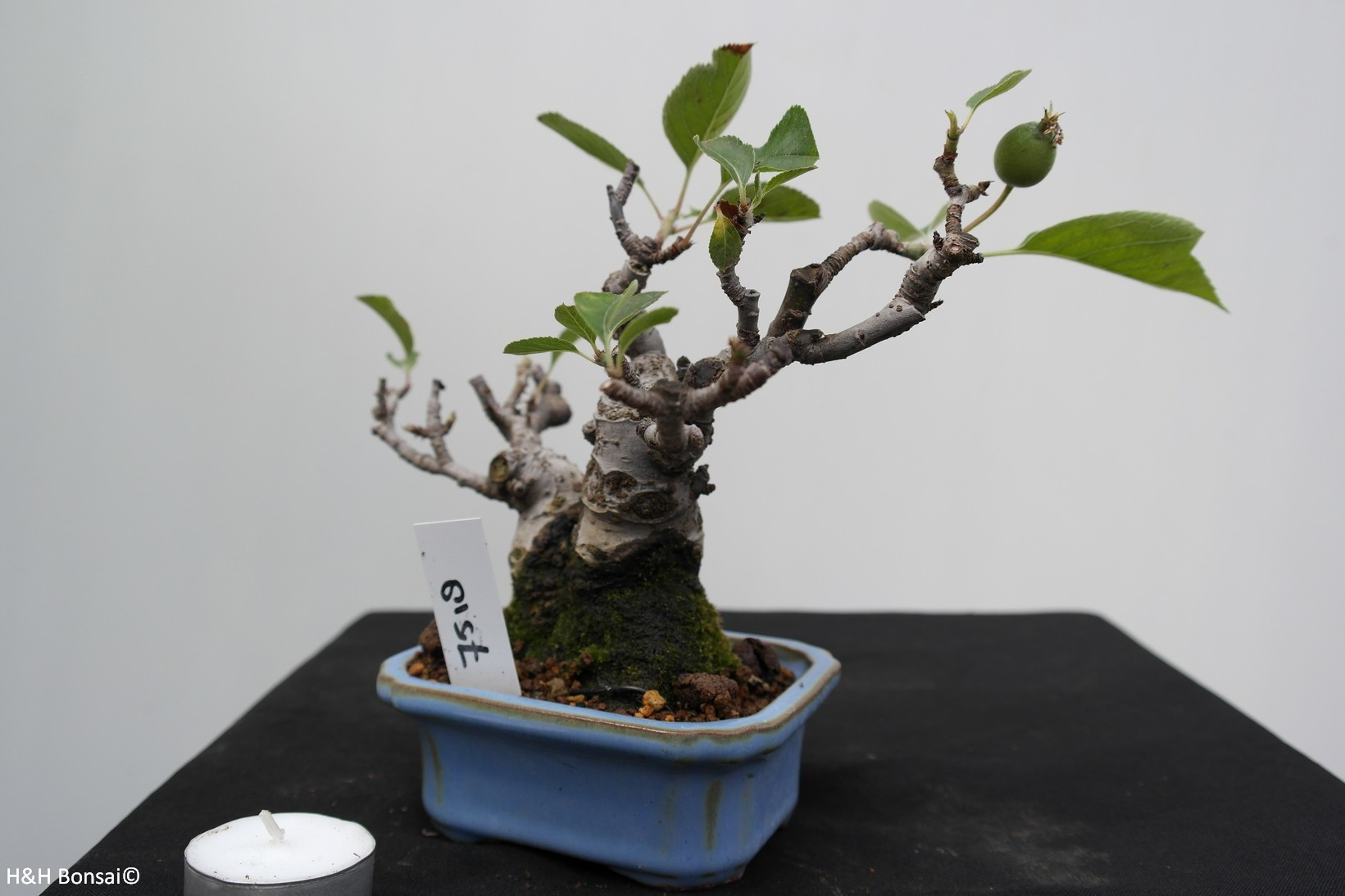Bonsai Shohin Crabapple, Malus, no. 7518