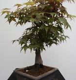 Bonsai Jap. Fächerahorn, Acer palmatum, nr. 7650
