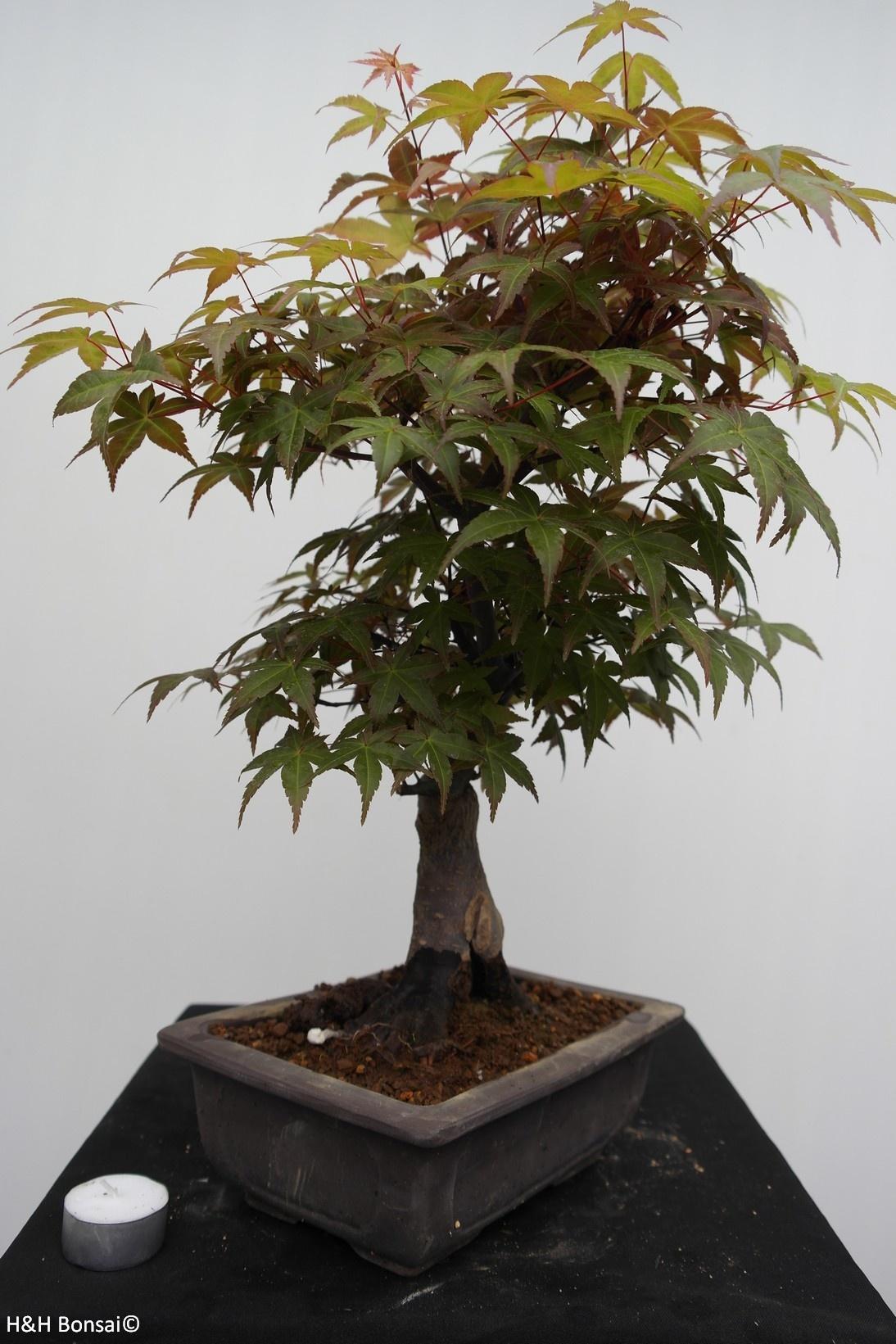 Bonsai Japanese maple, Acer palmatum, no. 7650