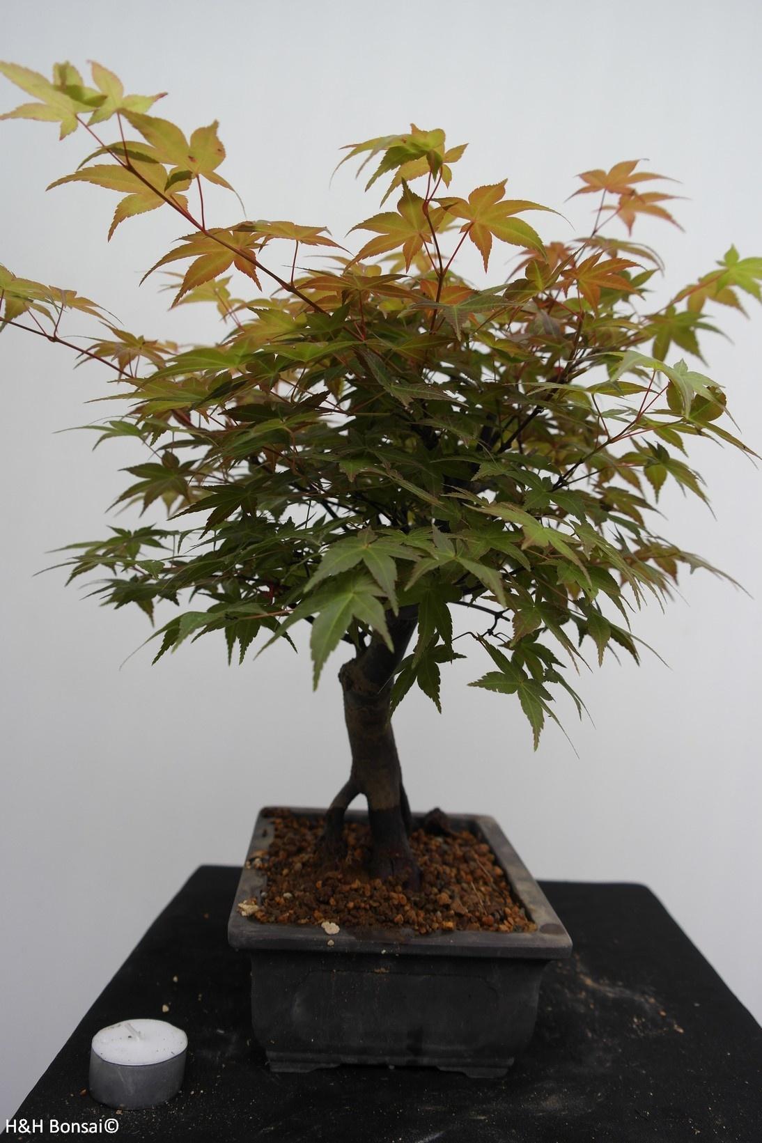 Bonsai Jap. Fächerahorn, Acer palmatum, nr. 7651