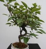 Bonsai Apfel, Malus halliana, nr. 7666