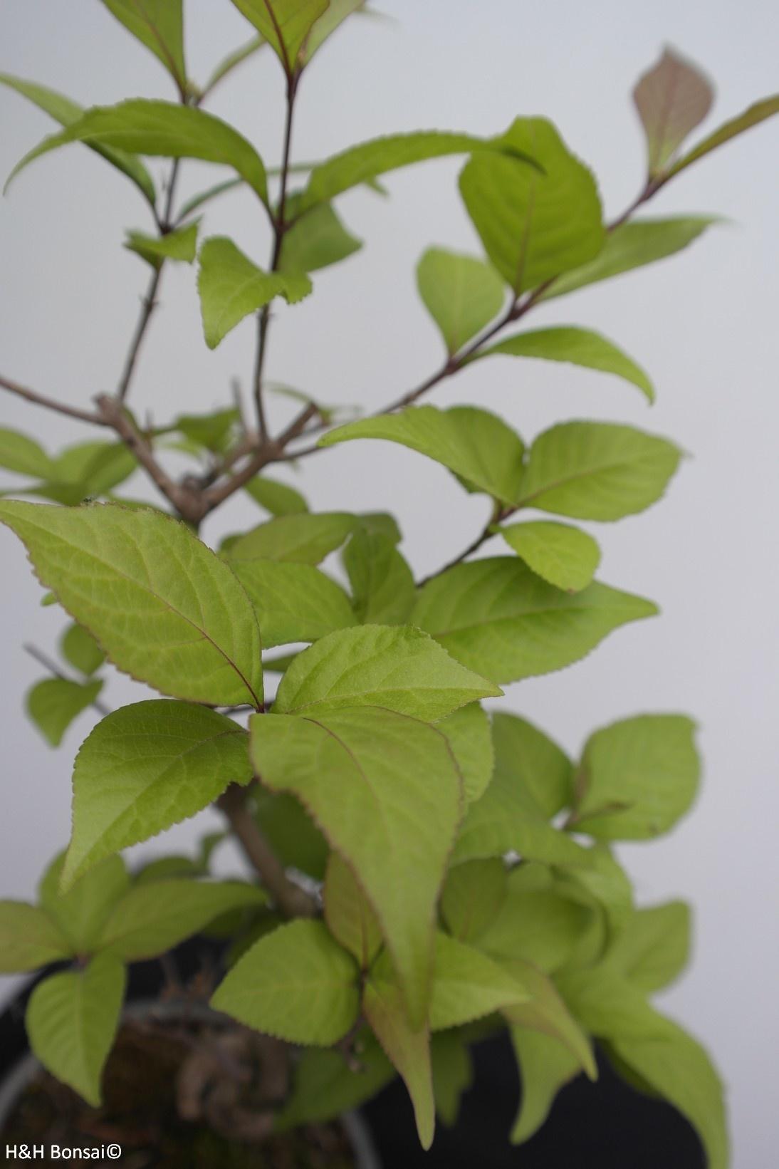 Bonsai Japanese Beautyberry, Callicarpa japonica, no. 7768