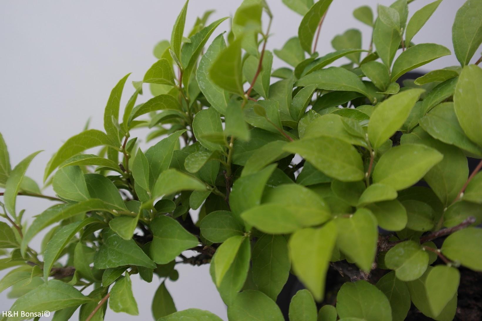 Bonsai Shohin Japanische Storaxbaum, Styrax japonicus,nr. 7769