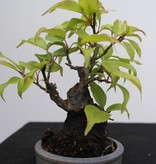 Bonsai Shohin Japanische Aprikose, Prunus mume, nr. 7779