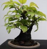 Bonsai Shohin Japanische Aprikose, Prunus mume, nr. 7780
