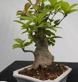 Bonsai Shohin Japanese Winterberry, Ilex serrata, no. 7781