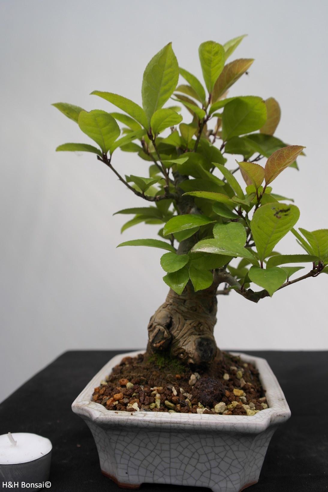 Bonsai Shohin Jap. Winterbeere, Ilex serrata, nr. 7781