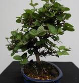 Bonsai Shohin Viburnum, nr. 7782