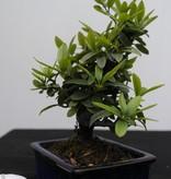 Bonsai Shohin Feuerdorn, Pyracantha, nr. 7784