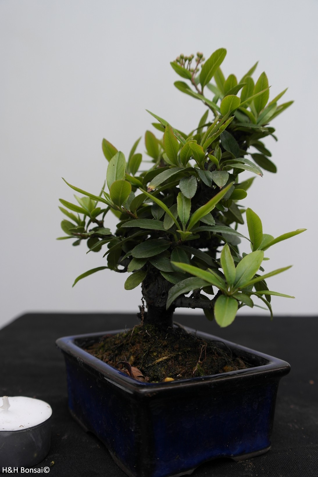 Bonsai Shohin Firethorn, Pyracantha, no. 7784