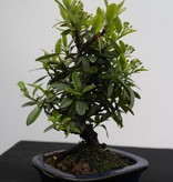 Bonsai Shohin Feuerdorn, Pyracantha, nr. 7785