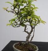 Bonsai Shohin Jap. Winterbeere, Ilex serrata, nr. 7789
