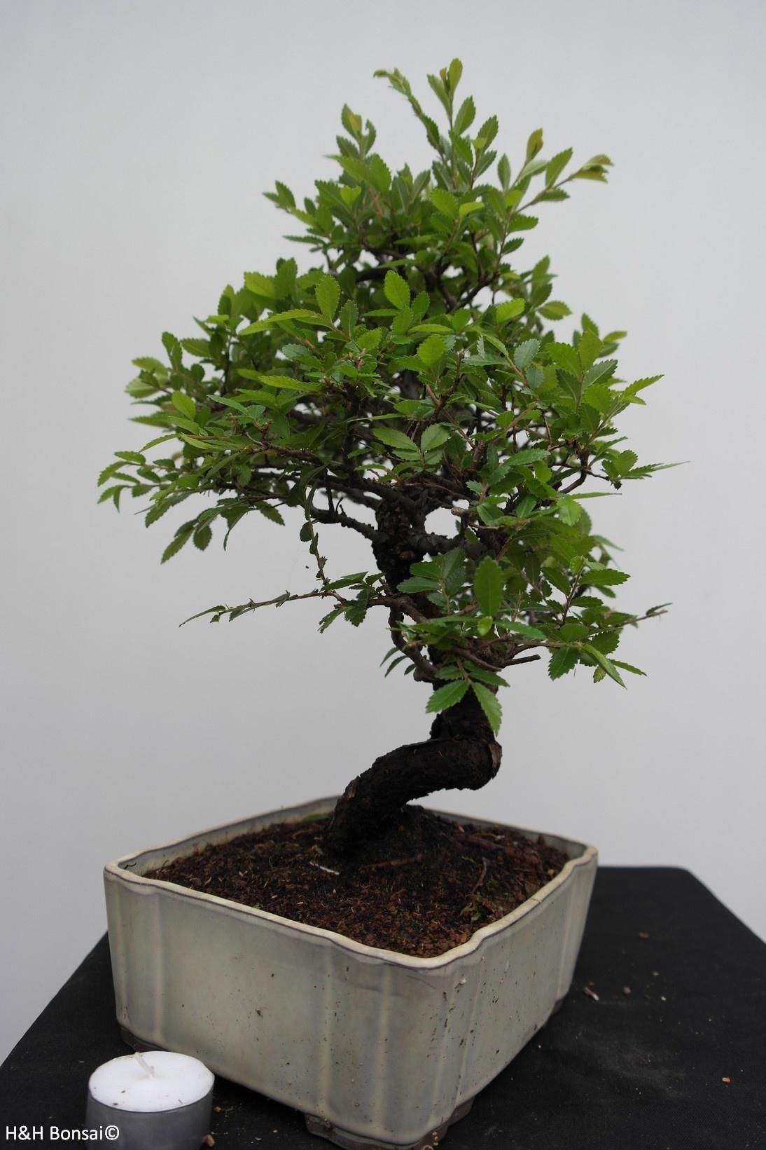 Bonsai Schwarze Zelkove, Zelkova nire, nr. 7794