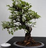 Bonsai Shohin Zelkova nire, no. 7797