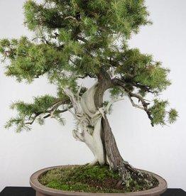 Bonsai Needle Juniper, Juniperus rigida, no. 5142