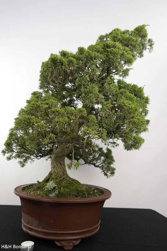 Bonsai Chin. Wacholder, Juniperus chinensis itoigawa, nr. 5181
