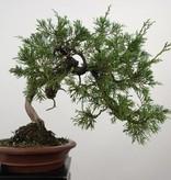 Bonsai Chin. Wacholder, Juniperus chinensis itoigawa, nr. 5185