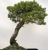 Bonsai Mädchenkiefer, Pinus parviflora, nr. 5258