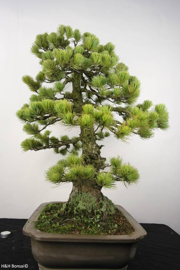 Bonsai Mädchenkiefer, Pinus penthaphylla, nr. 5299
