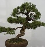 Bonsai Chinese Juniper, Juniperus chinensis, no. 5498