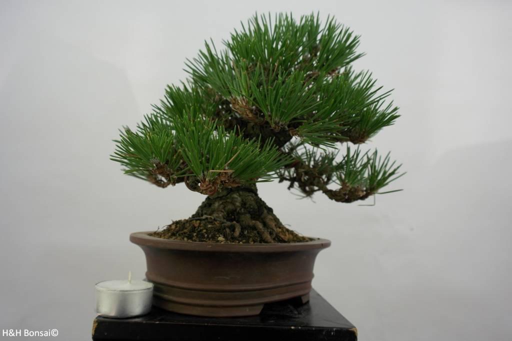 Bonsai Shohin Schwarzkiefer, Pinus thunbergii, no. 5506