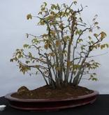 Bonsai Buche sp., wald, nr. 5574