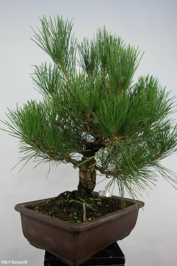 Bonsai Japanese Black Pine, Pinus thunbergii, no. 5727