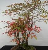 Bonsai Nandina domestica, no. 5732
