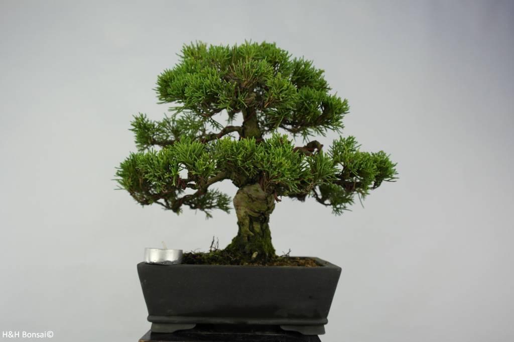 Bonsai Chinese Juniper, Juniperus chinensis, no. 5736