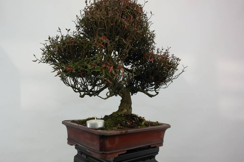 Bonsai Sternjasmin, Trachelospermum asiaticum, nr. 5107