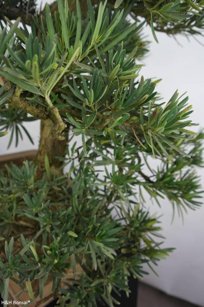 Bonsai Chin. Steineibe, Podocarpus, nr. 5797