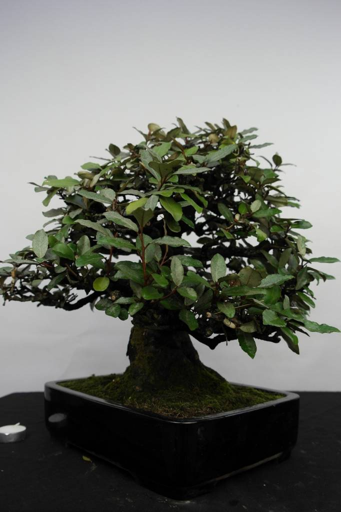 Bonsai Elaeagnus, no. 5143