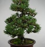 Bonsai Japanese Black Pine kotobuki, Pinus thunbergii kotobuki, no. 5494