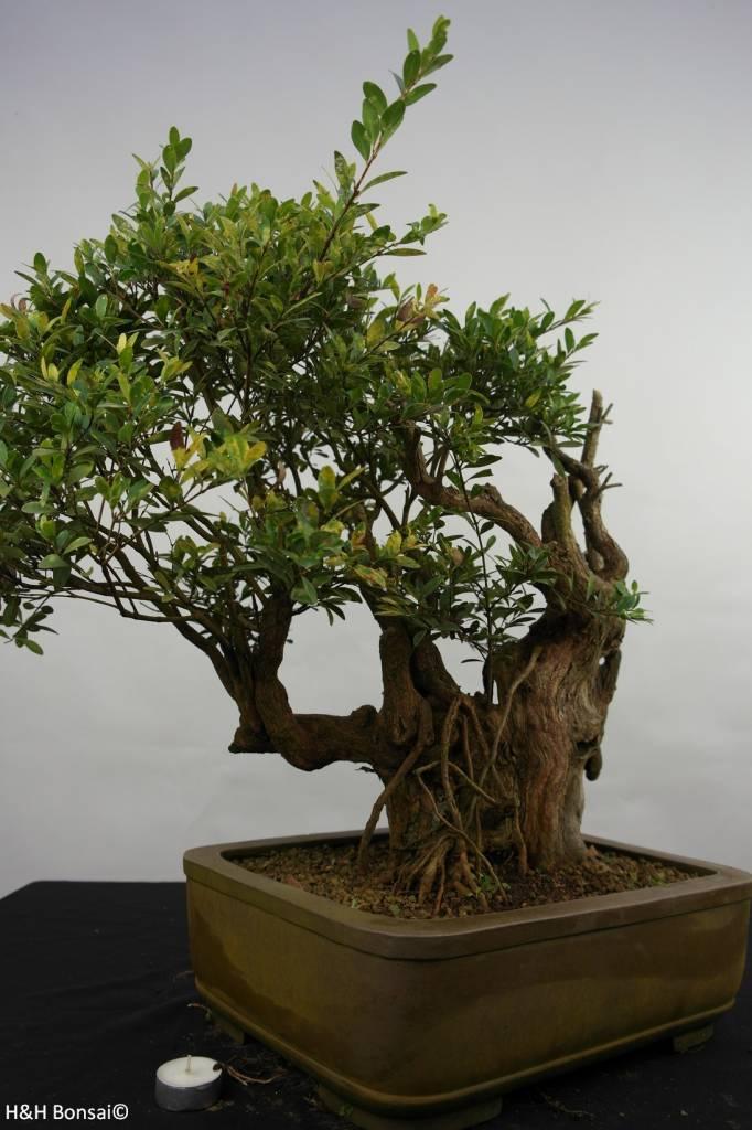 Bonsai Syzygium sp. , nr. 5826