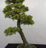Bonsai White pine, Pinus penthaphylla, no. 5182