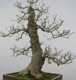 Bonsai Japanese Winterberry, Ilex serrata, no. 5133