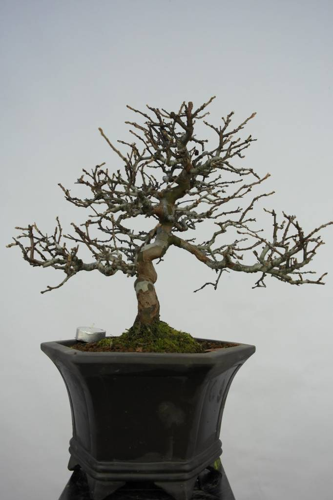 Bonsai Quitte, Cydonia oblonga, nr. 5664