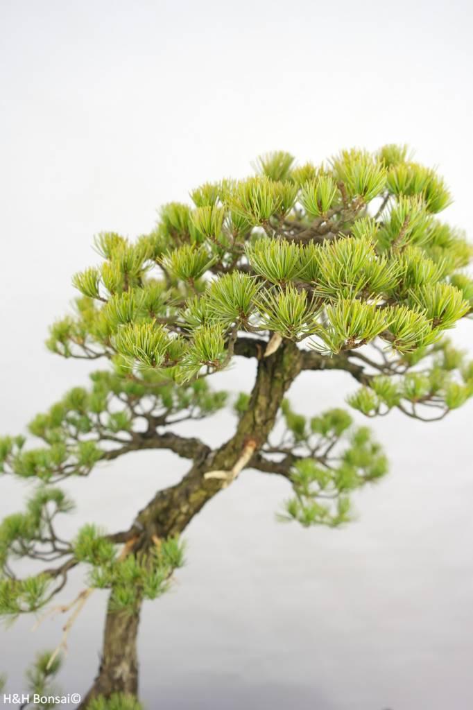 Bonsai Japanese White Pine, Pinus pentaphylla, no. 5838