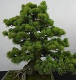 Bonsai Mädchenkiefer, Pinus penthaphylla, nr. 5843
