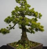 Bonsai Japanese White Pine, Pinus pentaphylla, no. 5845