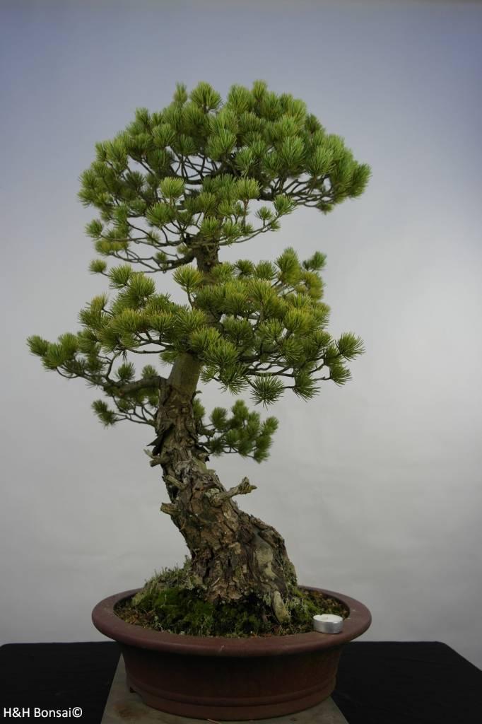 Bonsai Mädchenkiefer, Pinus penthaphylla, nr. 5847