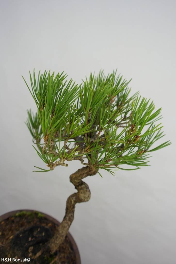 Bonsai Japanese Black Pine, Pinus thunbergii, no. 5855