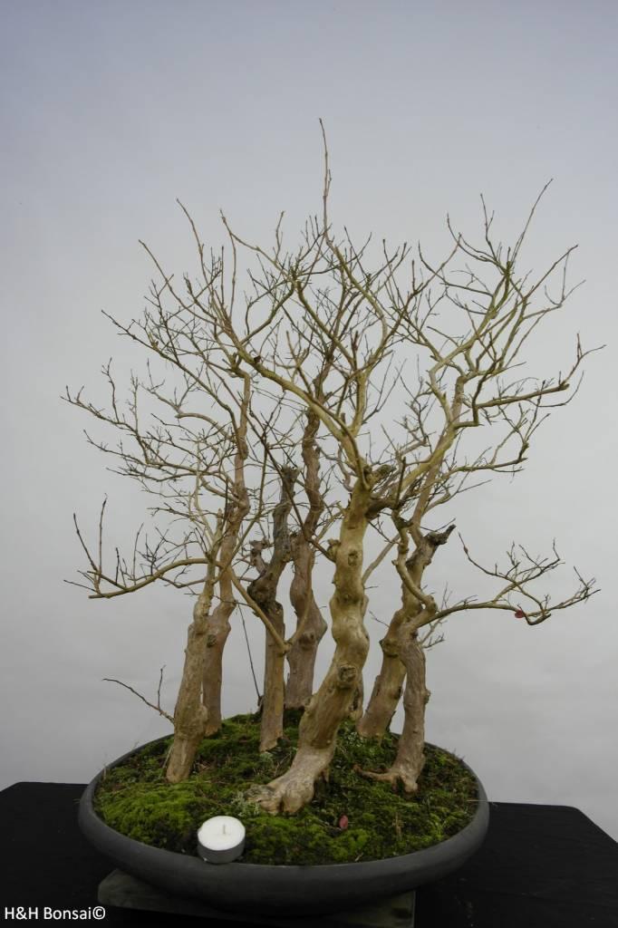 Bonsai Lagerstroemie, Lagerstroemia, nr. 5860